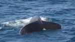 WHOI Study Shows Whales with Distinct Dialects
