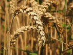 Biologists have studied enzymes that help wheat to fight fungi