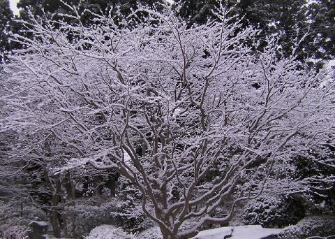 モミジの木に積もった雪
