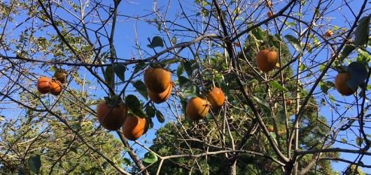 柿の実が生っています。