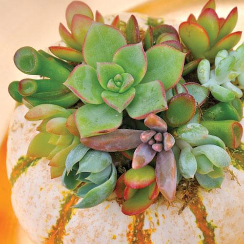 mini-zebra-pumpkin-succulent-planter