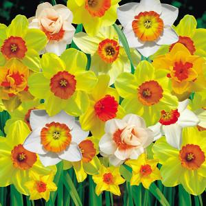 TheFortune Daffodil