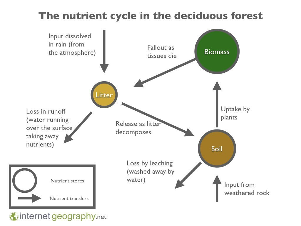 Deciduous Forest Nutrient Cycle