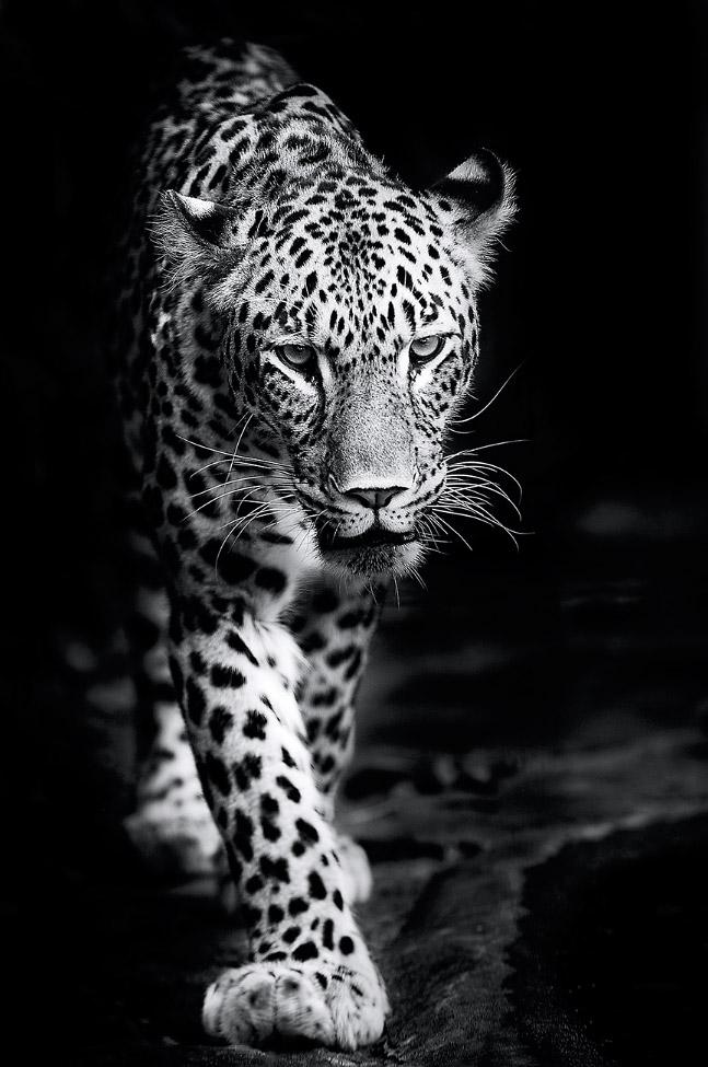 """""""persian leopard"""" by pixelmac"""