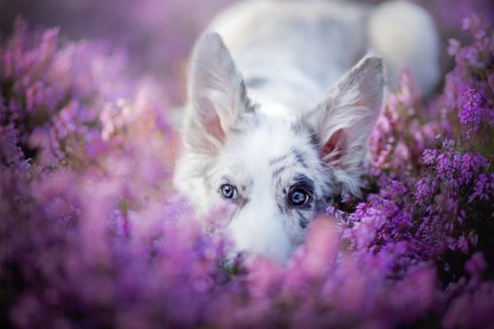 Dog Portraits Photography by Alicja Zmysłowska (6)
