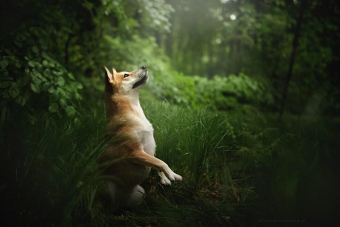 Dog Portraits Photography by Alicja Zmysłowska (8)