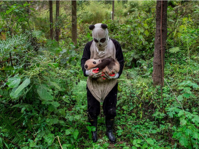 ami_vitale_pandas-gone-wild-ami-vitale-united-states-of-america-professional-natural-world