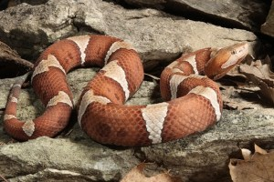 Copperhead-Snake