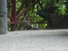 What?  Behind the Iguana?