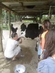 Avril gives an old-fashioned milking demonstration.  She usually uses a milking machine.
