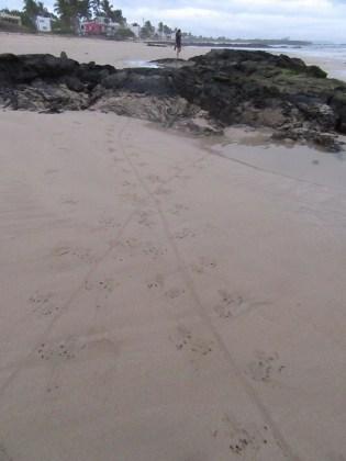 Marine iguana tracks