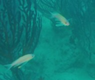 Anthias2