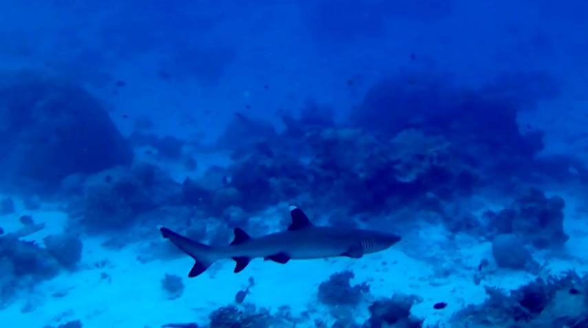 Squalo Pinna Bianca del reef- intotheblue.it