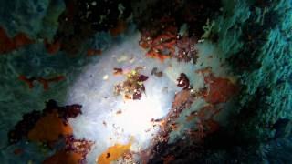 Falso Corallo - Myriapora Truncata
