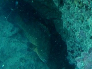 Cernia Bruna - Dusky Grouper - Epinephelus Marginatus - Intotheblue.it