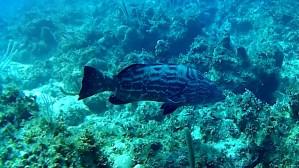 Nassau grouper - Epinephelus striatus