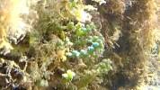 Caulerpa a grappoli - Caulerpa racemosa
