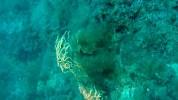 Gorgonia gialla - Eunicella Cavolinii