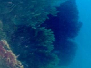 Bellissima Colonia Di Savalia Savaglia - Beautifull Gold Coral Colony - Intotheblue.it