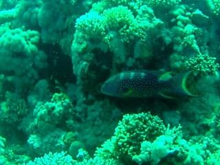 La Barriera Corallina Di Sharm El-Sheikh - The Sharm El-Sheikh Coral Reef - Intotheblue.it