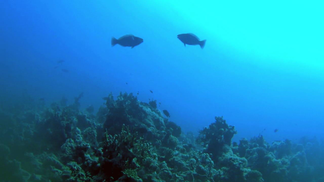 Rusty Parrotfish - Pesce Pappagallo rugginoso - Rusty Parrotfish who were fighting - lotta tra pesci pappagallo - intotheblue.it