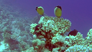 The Blacktail Butterflyfish