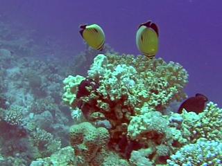Pesce Farfalla Austriaco - Black-Tailed Butterflyfish - Chaetodon Austriacus - Intotheblue.it