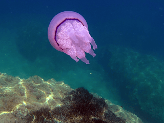 Il Polmone Di Mare - The Barrel Jellyfish - Rhizostoma Pulmo - Intotheblue.it