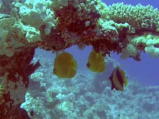 Pesce Farfalla Mascherato - Bluecheeked Butterflyfish - Chaetodon Semilarvatus - Intotheblue.it