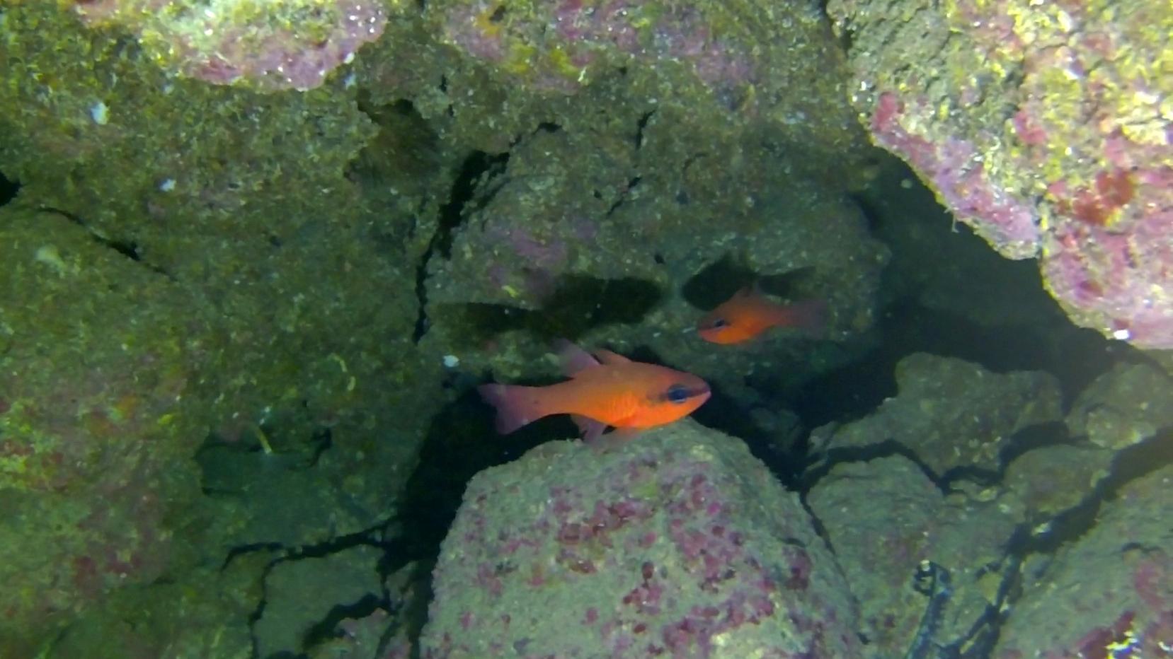 Pesce Cardinale Re di Triglie Apogon imberbis Cardinalfish inotheblue.it