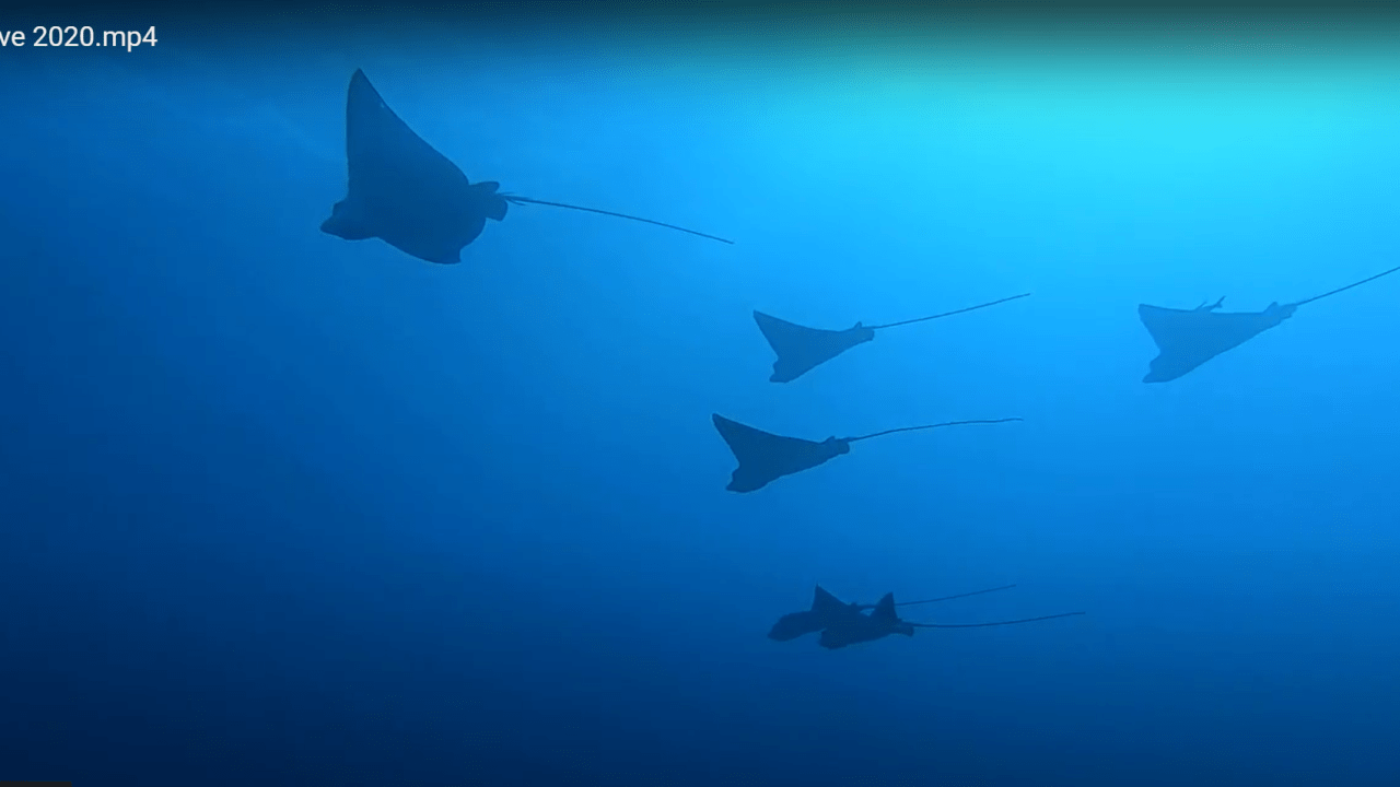 Aquila di mare - Spotted eagle ray - intotheblue.it