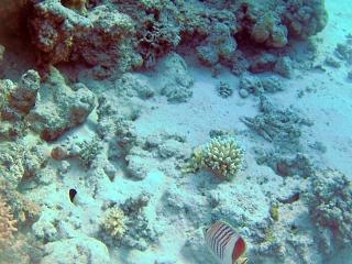 Pesce Farfalla Coda Rossa - Pesce Farfalla Eritreo - Eritrean Butterflyfish - Crown Butterflyfish - Chaetodon Paucifasciatus - Intotheblue.it