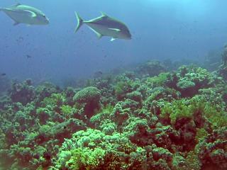 Il Carango Gigante Indopacifico - The Giant Trevally Fish - Caranx Ignobilis - Intotheblue.it