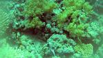 Dendronephthya hemprichi