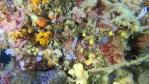 Doride tricolore Felimare tricolor