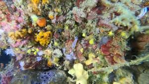 Doride tricolore - Felimare tricolor