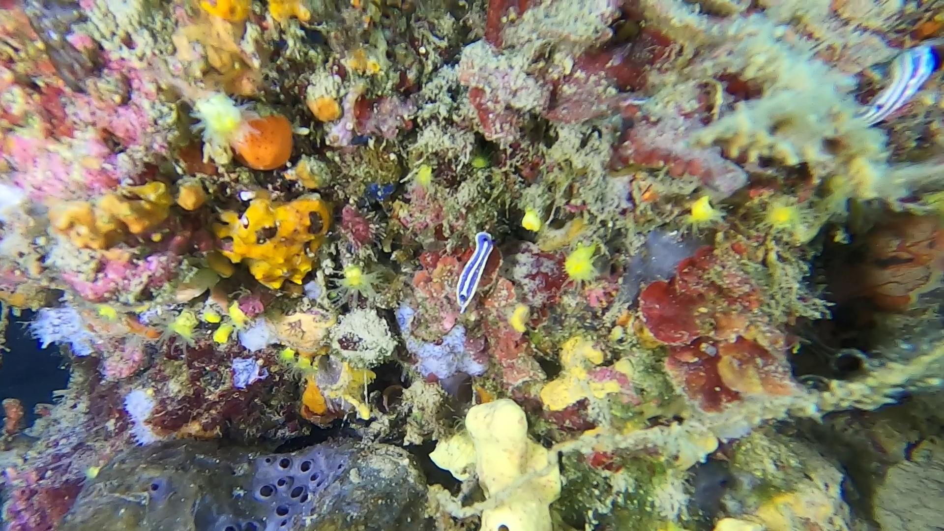 Doride tricolore Felimare tricolor Nudibranchi intotheblue.it