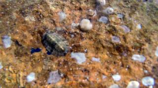 Chitone del Mediterraneo - Chiton olivaceus