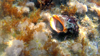 The Red-mouthed rock shell
