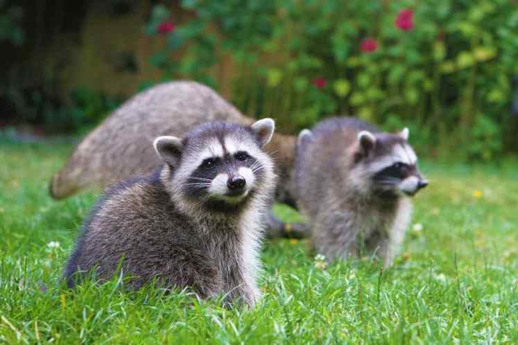 When Do Raccoons Have Babies? / When Are Baby Raccoons Born?