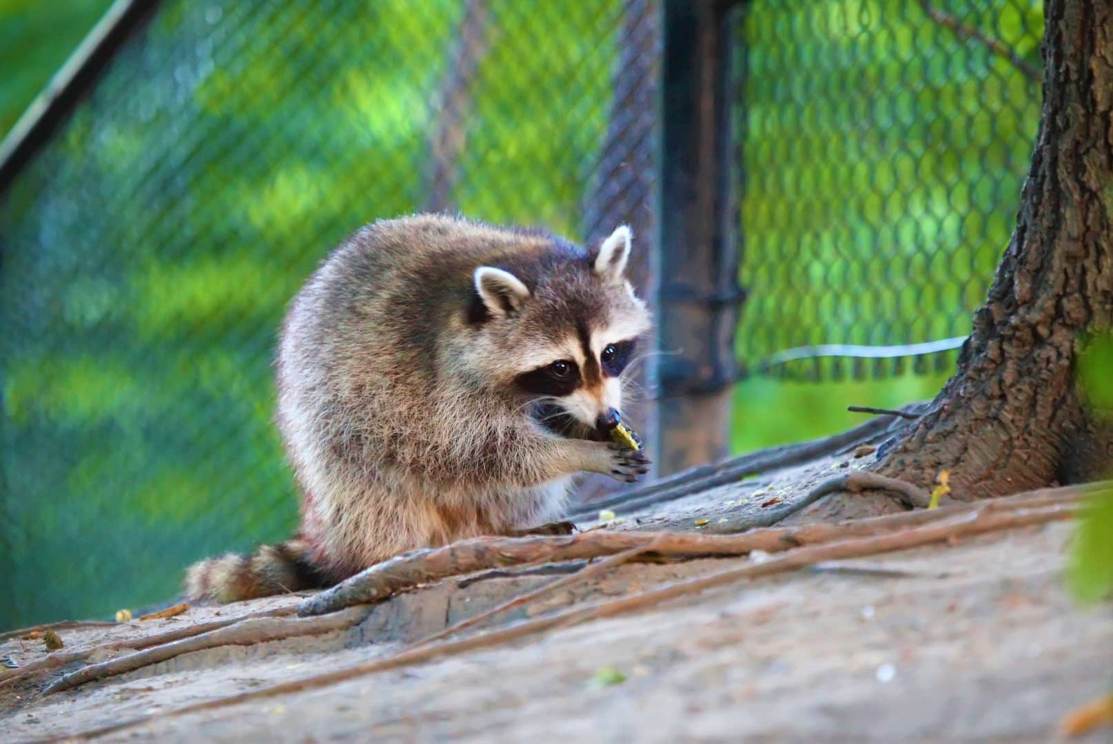 Do Raccoons Eat Rabbits From Your Backyard? Here's How...