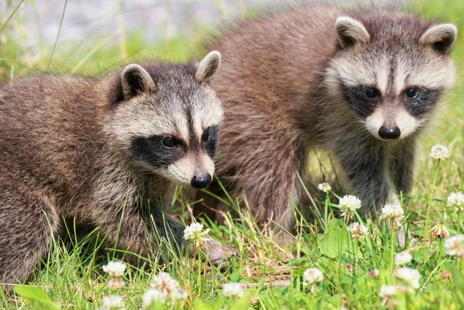 When Do Raccoons Have Babies When Are Baby Raccoons Born