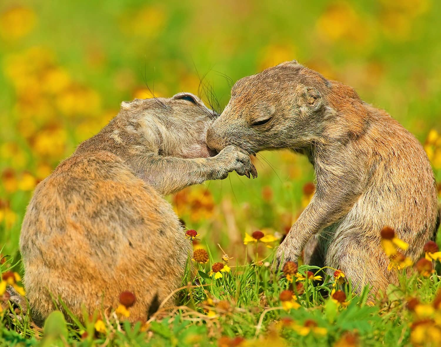 When, Why Do Prairie Dogs Kiss Each Other?