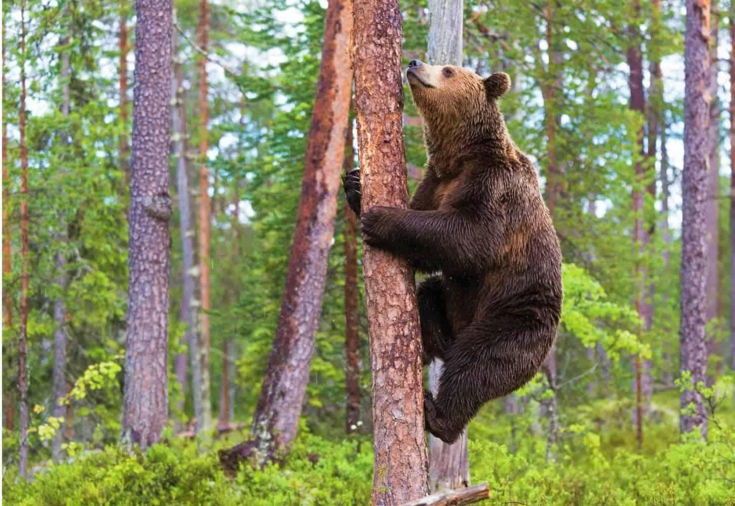 Bears Climbing Trees - Can Bears Climb Trees