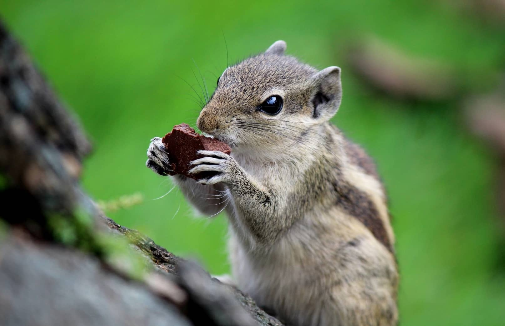 Can Squirrels Eat Chocolate Do They Like It [Should You Feed...]