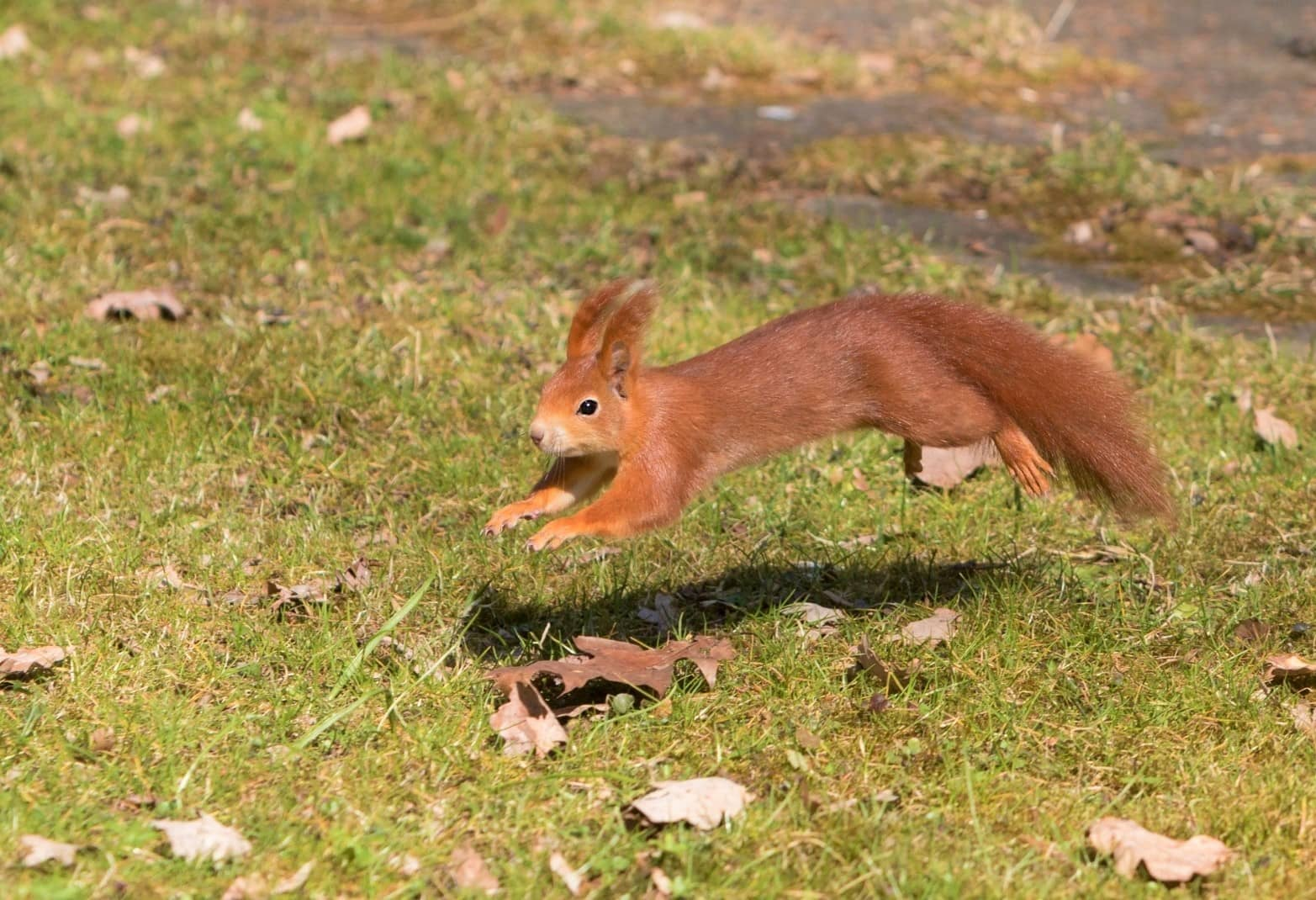 How Far Do Squirrels Travel How Far Can They Travel