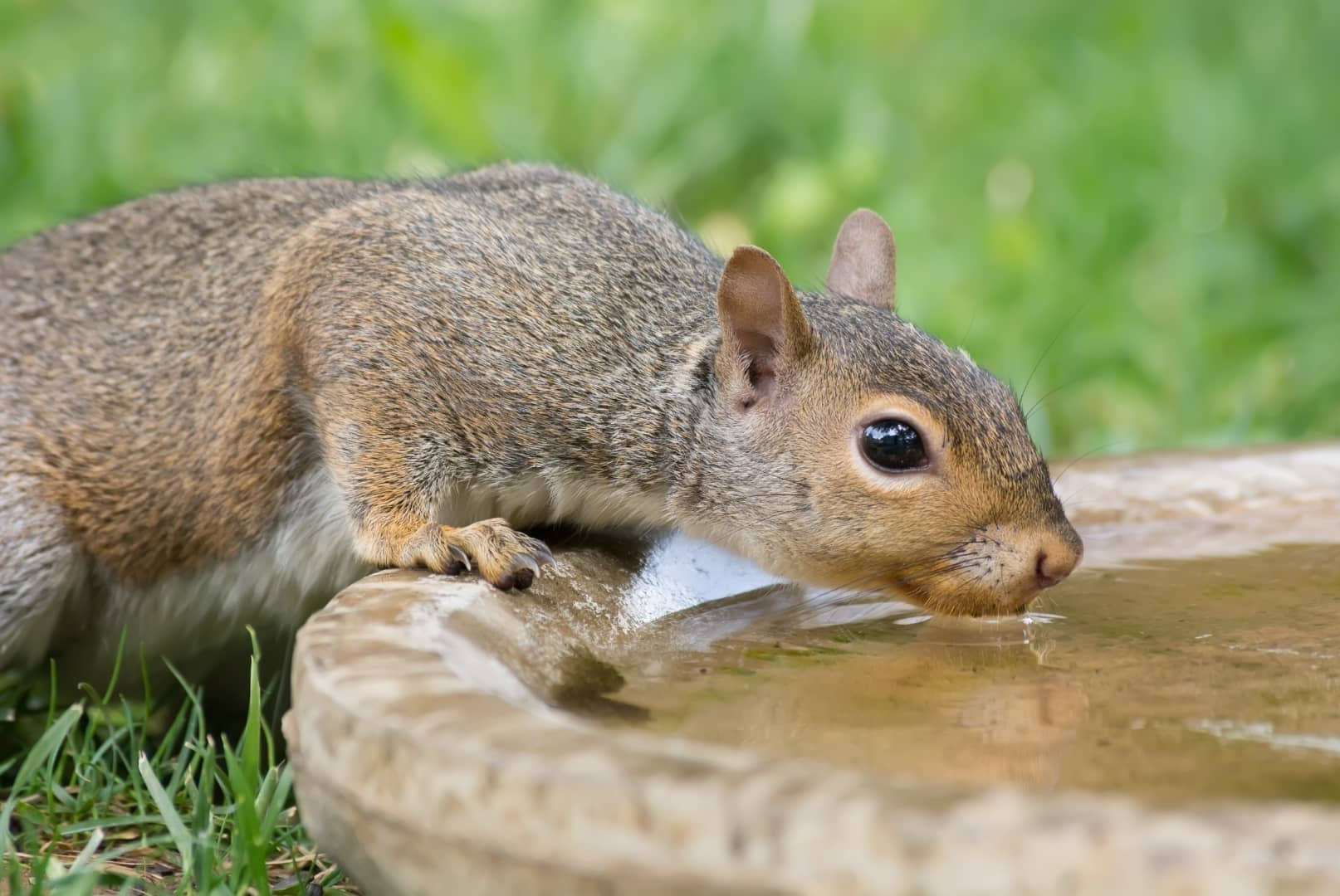 How Do Squirrels Drink Water? How Often? (Photos + Videos)