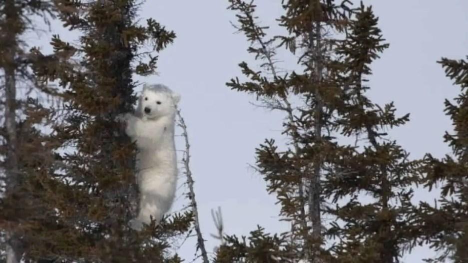 Polar Bears Climb