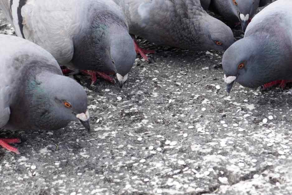 Do Pigeons Explode From Eating Rice or Soda? [What Do They Explode From?]