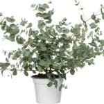 Gomboom Eucalyptus Gunnii D 14 H 45 Cm Intratuin